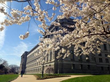 LOC cherry blossoms